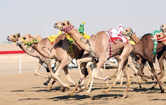 Camel Racing one of the most popular sports in United Arab Emirates